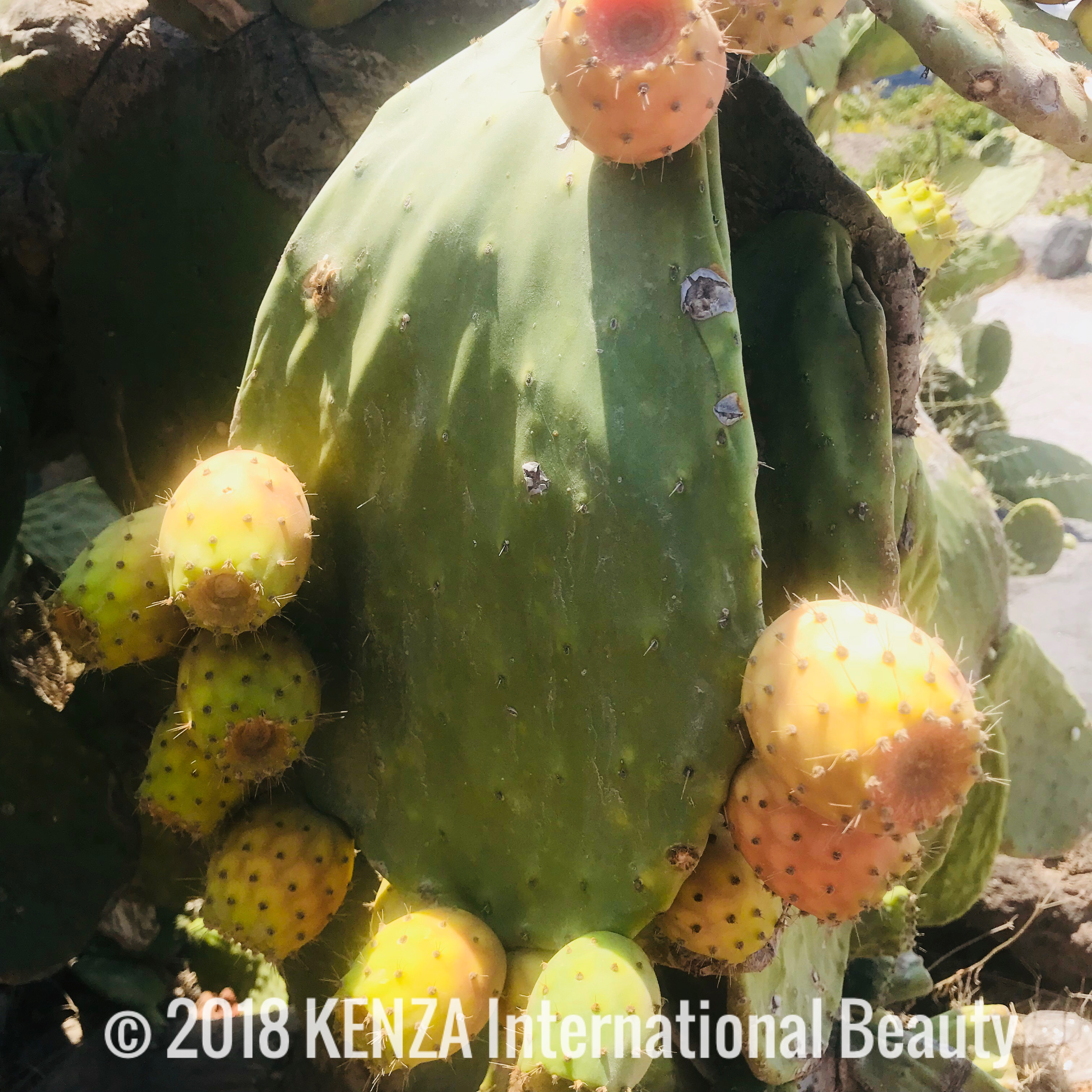Cactus Fruits Greece © 2018 KENZA International Beauty