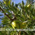 Green Argan Fruits Essaouira© 2012 KENZA International Beauty (1)