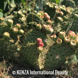 Prickly Pears Cactus Tree