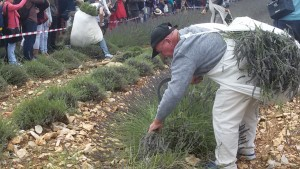 Lavender cutting competition