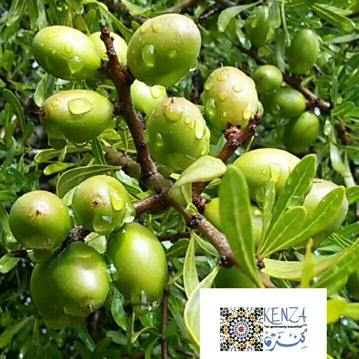 Argan tree with green nuts Agadir - photo: Khadija Fajry Copyright - KENZA International Beauty  https://kenza-international-beauty.com
