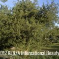 Argan Tree Arganerie©2013 KENZA International Beauty