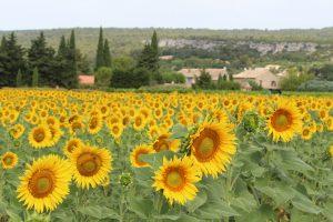 Sunflowers in Provence ©KENZA International Beauty LLC