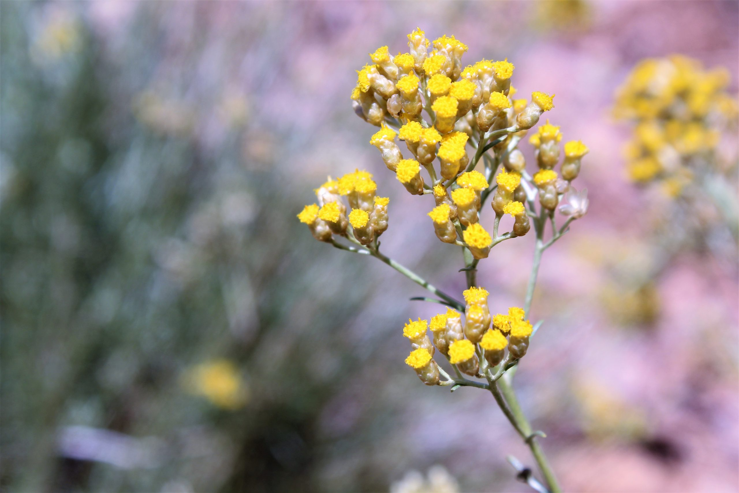 KENZA Helichrysum Italicum Immortelle Provence