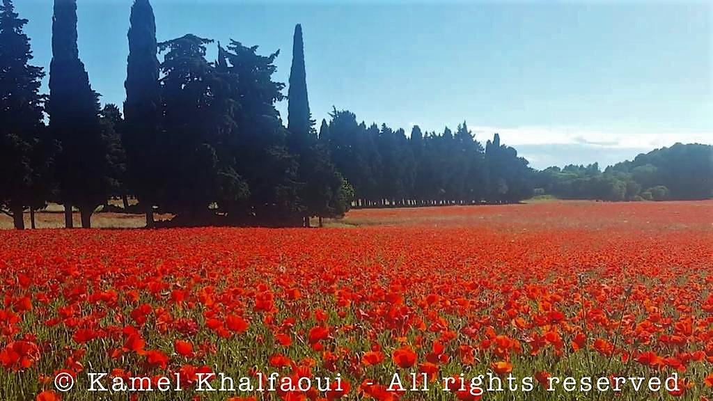 Champs de Coquelicots Provence by Kamel Khalfaoui