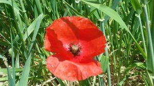 Red Poppy Flowers Morocco (2)